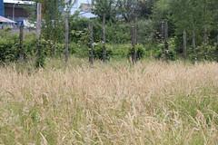 IMG_6115 (Pablo Alvarez Corredera) Tags: burro gato gata gallina rural medio vida hierba alta pradera praderio espigas arbol arboles burrito orejas orejitas gatita
