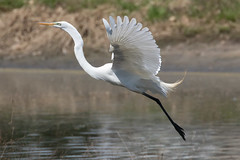 Great Egret Takes Flight-4 (Scott Alan McClurg) Tags: aalba ardea ardeidae flickr animal back backyard bird flap flapping flight fly flying greategret land landing life nature naturephotography neighborhood portrait spring suburban urban white wild wildlife