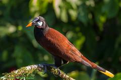 Montezuma Oropendola_O4Q0098-2 (dennis.zaebst) Tags: montezumaoropendola oropendola bird centralamerica costarica animal naturethroughthelens naturesspirit