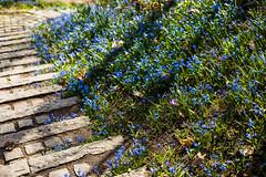 bla-blommor-1 (Pernilla Lindblom) Tags: norröping strömmen blomma blommor blue blå citylife flower flowers natur nature plant plants spring stadsmiljö sten utemiljö växt växter vår