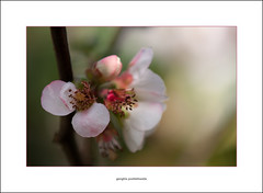 Japanese quince blossom (G. Postlethwaite esq.) Tags: april canon40d dof derby derbyshire japanesequince sigma70200f28 beyondbokeh blossom bokeh closeup depthoffield flower garden outdoor petals photoborder selectivefocus spring white