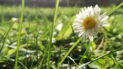 Magic in the garden (Alessio Bertolone) Tags: giardino garden luce light margherita daisy macro bokeh trentino it italy italia