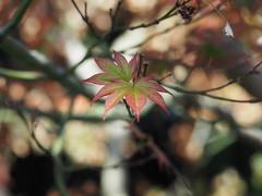 Japanese Maple (jennofarc) Tags: edmonton alberta canada muttartconservatory plant botanical garden nature greenhouse flower macro mirrorless 43