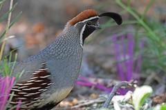 Gambel's Quail (Callipepla gambelii) (Adam Dhalla) Tags: quail bird patagonia arizona gamebird gambels southwest