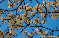 Dogwood Spring (T i s d a l e) Tags: tisdale adogwoodspring flowers blooms wildplants wilddogwood spring march 2017 easternnc