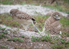 """Where do you think you're goin?"" (evelyng23) Tags: comedyrelief florida usa athenecunicularia burrowingowlet owlets owls burrowingowl nature wildlife hijinks notsofast birding nesting sigma 300mmf28 420mm aficionados 14xtc talons talonlock nope walkdontrun 2017 evelyng23"