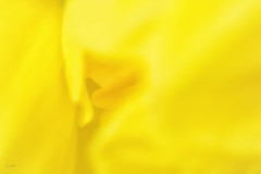Spring Abstract : Sunny Daffodil Yellow (Fiona Smith (Prev. Fiona McAllister Photography)) Tags: abstract yellow daffodil spring springtime vibrant colour colourful narcissus cheerful plant nature garden