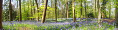 A carpet of blue (Rob McC) Tags: hyacinthoidsnonscripta bluebells flora flowers carpet blue woodland panoramic beech trees beautiful colourful light dapple