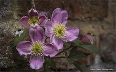 Clematis. (John's taken it. recovering still a bit slow.) Tags: sissinghurst flowers clematis gardens nationaltrust canon macro