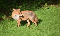 Vixen in the garden (Clare_leeloo) Tags: redfox fox mammals vixen nature ukwildlife wildlife animals