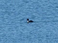 Eugi, Navarre, Espagne: lac de barrage sur l'Arga, Grèbe mâle. (Marie-Hélène Cingal) Tags: espagne españa spain navarre navarra eugi