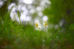 flower (Davide Podetti) Tags: flowers helios 442 f2 green