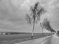 Birken (Wunderlich, Olga) Tags: rügen insel deu mecklenburgvorpommern birken allee himmel regen landschaft natur landschaftsaufnahme naturaufnahme wasser