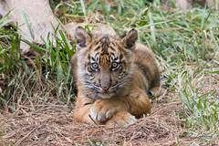 Little Suka (ToddLahman) Tags: sumatrantiger suka baby babysumatrantiger babytiger babysuka tigers tiger tigertrail tigercub teddy joanne mammal outdoors exhibita portrait sigma150500 canon7dmkii canon closeup