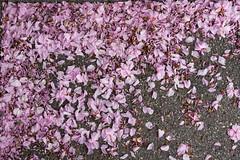 Blütenmeer im Frühling (Jo&Ma) Tags: pflanzen aufblühen baum bestäubung blatt blühen blume blüte frühling garten grün knospe landschaft landwirtschaft laub natur outdoor pink lila rosa viola hintergrund struktur blüten blütenmeer blumen krischblüten kirschen
