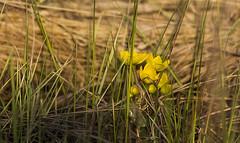 Pelkinė puriena / Caltha palustris / Kingcup (Jonas Juodišius) Tags: lietuva lithuania rytųlietuva algirdėnųraistas švenčionys pelkinėpuriena calthapalustris kingcup
