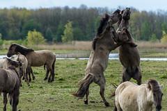 Konik Horses in battle (madphotographers) Tags: konik konikpaarden oostvaardersplassen nature wild wilderness horses horse battle fight