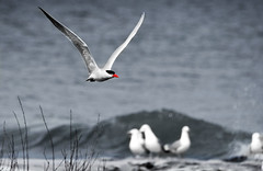 Caspian Tern (imageClear) Tags: bif posterized picmonkeycom desaturated lakeshore fly bird tern caspiantern wildlife nature aperture nikon d500 80400mm imageclear flickr photostream