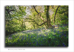 Woodland Spring (Explore 28/04/2017) (RTA Photography) Tags: outdoors nature sunshine explore rtaphotography scadsonwoods paignton devon spring light bluebells woodland trees green day nikond7000 sigma1020mm456exdchsm sigma cpl tree leaves life
