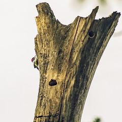making holes (amy buxton) Tags: amybuxton stlouis natural nature spring forestpark animals birds kennedywoods woodpecker redheadedwoodpeckermelanerpeserythrocephalus