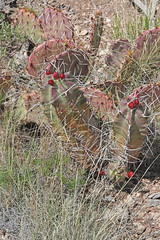 CAD0010090a (jerryoldenettel) Tags: 170418 2017 cactaceae caryophyllales chupaderamesa claretcupcactus coreeudicots echinocereus echinocereustriglochidiatus nm radiotowers socorroco wildflower cactus flower