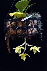 Stanhopea wardii 'var Aurea (species orchids) Tags: stanhopeawardiivaraurea species orchids plants botanical