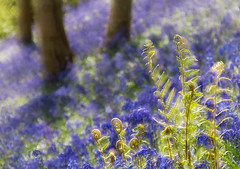 English Spring (Inna Karpova) Tags: doubleexposure incamera bluebells spring forest