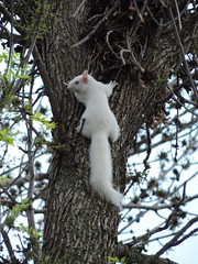 Albino Squirrel In The Tree (Explore) (rabidscottsman) Tags: scotthendersonphotography nikon nikonp520 coolpix p520 squirrel whitesquirrel albino albinosquirrel tree nature wildlife wild saturday weekend sooc explore explored may 2013 creature inthetree onthetree fur furry wildlifewednesday minnesota socialmedia usa unitedstatesofamerica