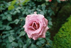 Rose (YasukiF) Tags: rose al pentax superia 400 fujifilm f18 limited smc lx xtra 31mm pentaxfa