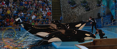 Tuar and Kyuquot3 (GypsySkye7) Tags: sanantonio believe orca seaworld shamu killerwhale kyuquot captivity tuar