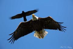 Holy Crow! (Bald Eagle in Full Frame Goodness!) (Mitch Vanbeekum Photography) Tags: flying inflight eagle flight baldeagle nj chase crow haliaeetusleucocephalus stanhope thewonderfulworldofbirds canon5dmkiii canonef500mmf4is lakemusconetcongnj canon14teleconvertermkiii