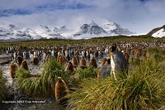 A Gathering of Kings (pdxsafariguy) Tags: mountain snow bird grass clouds island penguin wildlife chick remote southgeorgia tussock colony salisburyplain ecotourism tomschwabel kingpenguin aptenodytespatagonicus subantarctic specanimal specanimalphotooftheday