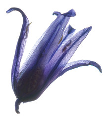 Bluebell flower (The^Bob) Tags: blur flower scan bluebell hyacinthoidesnonscripta