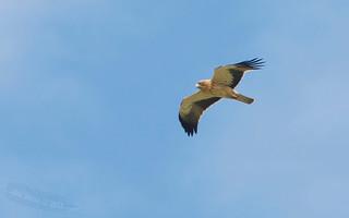 Águia calçada - Aquila pennata (Hieraaetus pennatus) - Booted Eagle