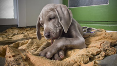 mmmmm sTick gOOd  (m+m+t) Tags: newzealand dog puppy weimaraner pup ida mmt