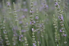 Lavender (reed photo) Tags: blanco lavender
