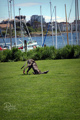 Picking up a scent (d.rizzle) Tags: greyhound victoria vancouverisland dolcegambino