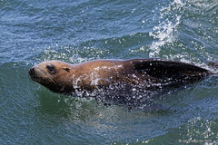 Sea Lion at One Mile Buoy (pandatub) Tags: santacruz sealion