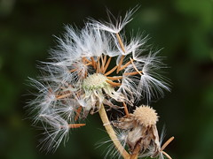 Crepis biennis L. - Rough Hawk`s-beard (Peter M Greenwood) Tags: rough crepis biennis hawksbeard crepisbiennis roughhawksbeard