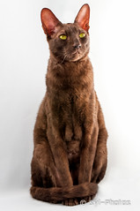 Rex Cornish (syl-photos) Tags: portrait pet canada cat chat quebec qubec purebredcat sylviel shootingphotos animaldomestique lufio rexcornish chatderace sylphotos