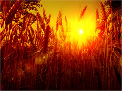 Sunset in the cornfields (Fr@nk//) Tags: trees light sunset red orange sun holland topf25 netherlands cornfield topf50 topf75 colorful europe sundown wheat sony topf300 cornfields topf100 topf200 45mm limburg germs eyecatching nextime topv7777 iso50 11250 orvil 24 mygearandme flickrhivemindgroup xperias watmooi mrtungsten62 frankvandongen 93773007