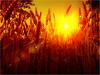 Sunset in the cornfields (Frank ) Tags: trees light sunset red orange sun holland topf25 netherlands cornfield topf50 topf75 colorful europe sundown wheat sony topf300 cornfields topf100 topf200 45mm limburg germs eyecatching nextime topv7777 iso50 11250 orvil ƒ24 mygearandme flickrhivemindgroup xperias watmooi mrtungsten62 frankvandongen 93773007