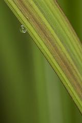 Waterdrop on Grass 072113a copy (davidakoubian) Tags: flowers macro georgia jasper insects closeups tamron180mmmacro bearwoods bearwoodsphotography
