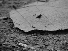 Murilo Ribeiro Borges © (MuriloRibeiroBorges) Tags: bw pb foliage sheet folhagem
