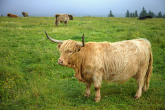 A Ginger Coo (Non Paratus) Tags: uk scotland highlands cows farm pasture highlandcattle