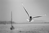 Freedom (puthoOr photOgraphy) Tags: sea blackandwhite bird monochrome turkey dk seagul lightroom birdinflight marmarasea d90 adobelightroom nikond90 seaandboats lightroom3 puthoor abrahamputhoor gettyimagehq puthoorphotography