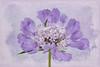 (adriana johanna) Tags: memoriesbook scabiosa purple flower flora floral texture frenchkiss canon t2i macro 90mmtamron