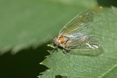 Javesella pellucida - Female - Vibrating wings (Birds and Bugs) Tags: macro bug geotagged cambridgeshire raynoxdcr150 delphacidae sigma105mm canoneos450d javesellapellucida geo:lat=5256202607476072 geo:lon=01550849978734159