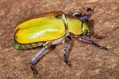 Beyer's Scarab (Chrysina beyeri) (aliceinwl1) Tags: az arizona arizona2013bugguide arthropod arthropoda beyersscarab chrysina chrysinabeyeri coleoptera insect insecta patagonia patagoniamountains polyphaga rutelinae rutelini santacruzcounty scarabbeetle scarabaeidae scarabaeoidea shiningleafchafer beetle beyeri locpublic viseveryone
