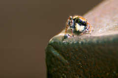 Jumping Spider (darlenetwitchell) Tags: macro insect spider fb jumpingspider